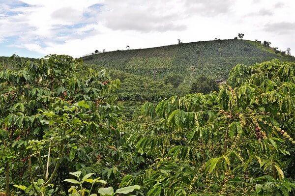 Độ cao của vùng trồng cà phê càng cao thì hương vị và độ ngon của cà phê càng tăng