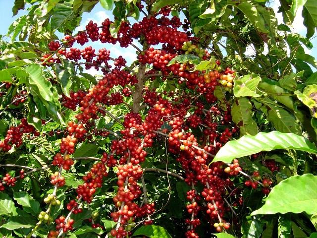 Cà phê Bourbon Coffee –Madagasca