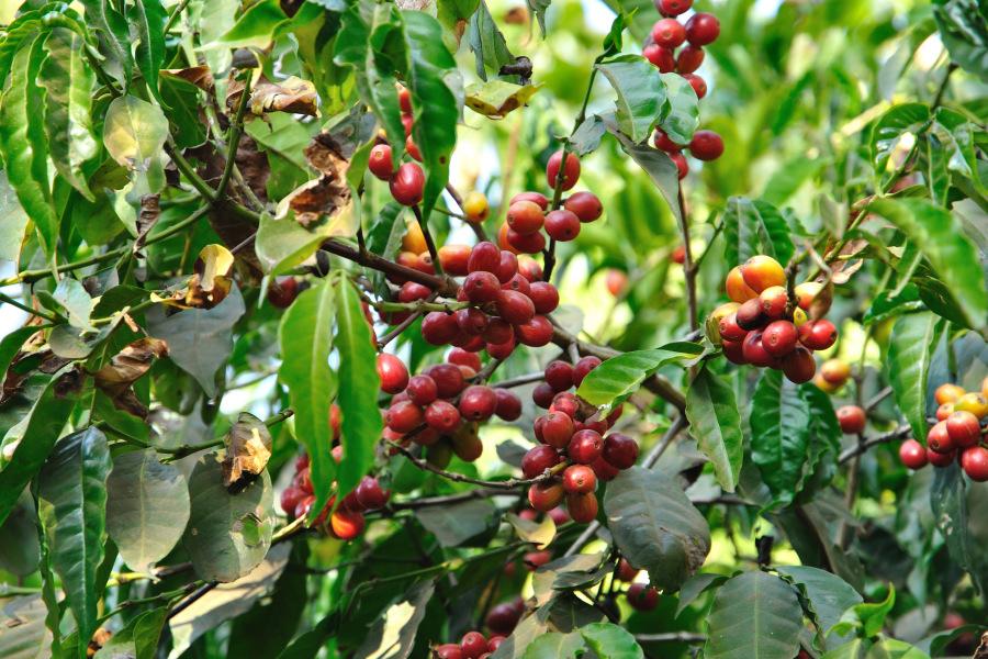 Cà phê Ethiopia