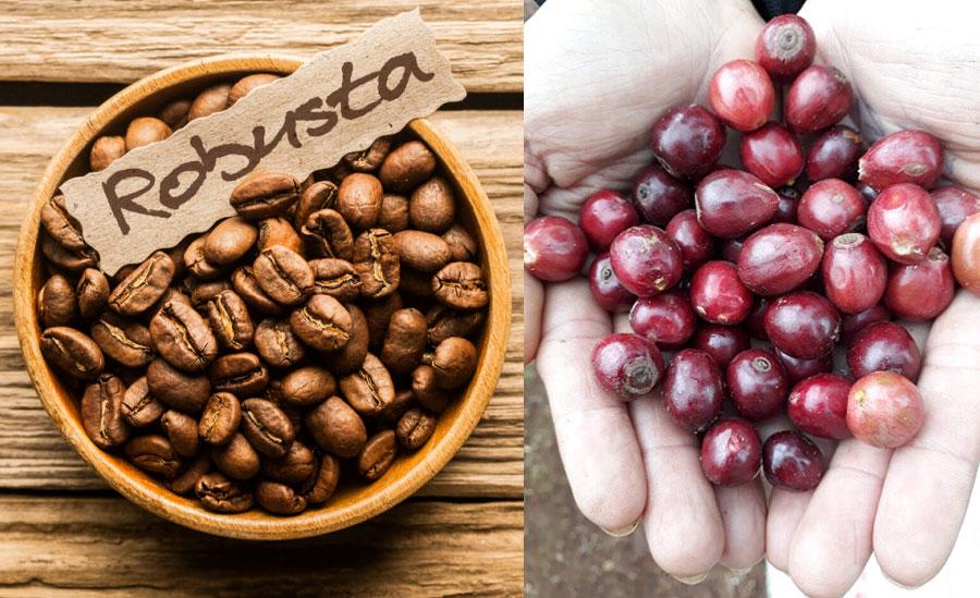 Phân bố cây cà phê Robusta trên thế giới 2018 - Robusta là gì Nguồn gốc xuất xứ và đặc điểm của cà phê Robusta