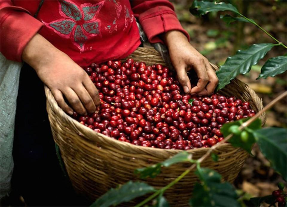 Cà phê Robusta (cà phê vối) tại Kontum – Việt Nam - Robusta là gì Nguồn gốc xuất xứ và đặc điểm của cà phê Robusta