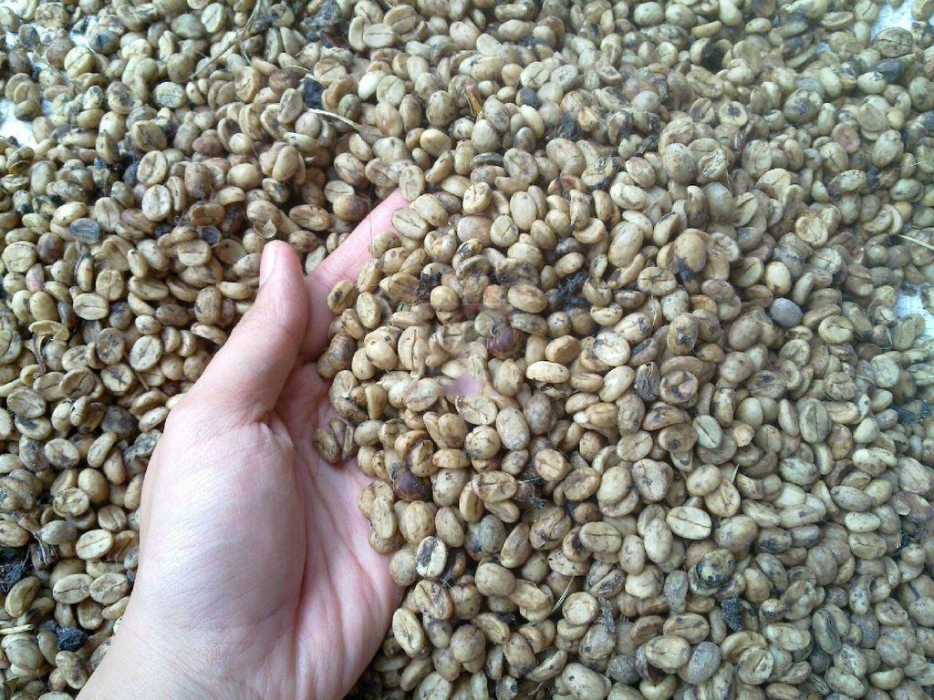 Quy trình chế biến cà phê nhân chuẩn